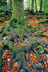 Beech roots, Chablais, France