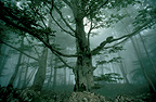 Beech forest in fog, Basque Country, France
