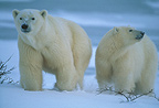 Polar bear mother and cub, Churchill Bay, Canada.