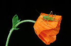 Grasshopper on a corn poppy