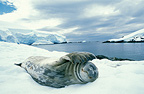 Weddell Seal on snow, Antarctic Peninsula