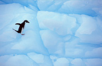 Adelie Penguin on pack ice, Paulet Island, Antarctica