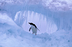Adelie Penguin on pack ice, Antarctic Peninsula