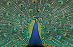 Male Indian Peafowl displaying its tailfeathers, UK