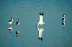 Pied avocets on the water, Austria