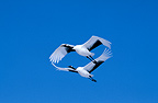 Red-crowned cranes in flight, Hokkaido, Japan