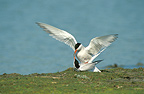 Common Terns mating in spring