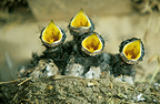 Barn swallow chicks in their nest, Picardie, France