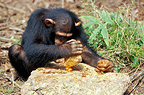 Chimpanzee cracking open palm nuts with a stone, Gabon