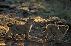 Lion cubs in the savanna, Africa