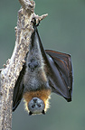 Gray-headed flying fox suspended from a branch, Queensland , Australia