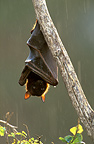 Little Red Flying Fox hanging from a branch, Australia