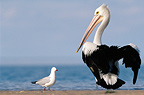 Australian Pelican with gull on the seashore, WA, Australia