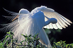 Great Egrets during courtship display in nest, Florida, USA
