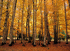 Beech trees in autumn, Ordesa NP, Huesca, Spain
