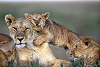 Lioness and cubs, Masai Mara, Kenya