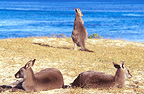Eastern Grey Kangaroos on the beach, NSW, Australia