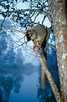 Common brown lemur in a tree, Madagascar