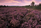 Heathland in the Chanfroy plain, Fontainebleau, France