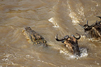 Nile crocodile attacking crossing wildebeest
