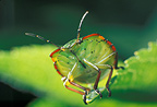 Green shield bug on a leaf, France