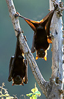 Little Red Flying Foxes hanging from a branch