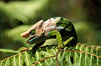 Chameleon on a leaf, Madagascar