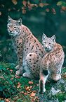 Adult Eurasian lynx and young