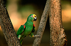 Yellow-crowned parrot in a tree, Venezuela
