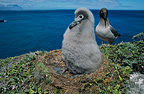 Light-mantled Sooty Albatross with its chick, Crozet Islands, French Southern and Antarctic Lands.