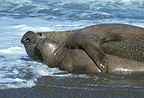 Southern elephant seals mating, Patagonia, Argentina