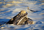 Southern right whale showing its head in the foam