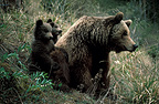 Female Eurasian brown bear and cubs, Spain