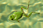 Mediterranean Tree Frog swimming, Provence, France