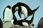 Adelie Penguins mating, Antarctica