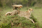 Female cheetah and cubs, Masai Mara, Kenya