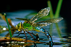 Emperor Dragonfly laying its eggs & spider intruder, Brittany, France