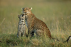 Female leopard with 7-month-old cub, Masai Mara, Kenya