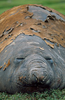 Male Southern elephant seal, Kerguelen Islands