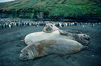 Southern elephant seal and King Penguins, Crozet Islands, French Southern and Antarctic Lands.