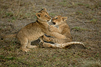 Young lions playing, Masai Mara, Kenya