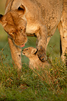 Female lion and cub, Masai Mara, Kenya