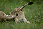 Young lion playing with an adult's tail, Masai Mara, Kenya