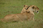 Lioness and cub in the savanna, Masai Mara, Kenya