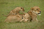 Lioness and cubs in the savanna, Masai Mara, Kenya