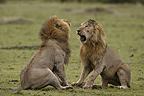 Lions fighting over a female, Masai Mara, Kenya