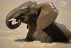 African elephant playing in the mud, Samburu, Kenya