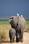 African elephant and calf walking, Amboseli NP, Kenya