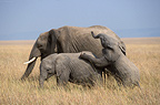 African elephant calves playing, Masai Mara, Kenya
