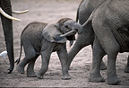African elephant calf holding its older sister's tail